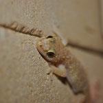 Europese tjiktjak (Hemidactylus turcicus)