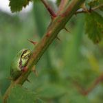 Boomkikker (Hyla arborea) - locatie geheim (België)
