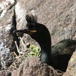 Kuifaalscholver (Phalacrocorax aristotelis) - Isle of May, Scotland
