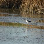 Steltkluut (Himantopus himantopus) - Zoutekreek België