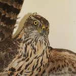 Havik (Accipiter gentilis) - VOC Oostende