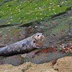 Grijze zeehond op Crayleigh Island