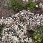 Zeekoeten (Uria aalge) - St-Abbs head, Scotland