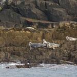 Grijze zeehonden (Halichoerus grypus) - Isle of May, Scotland