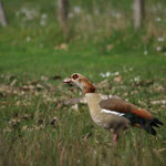 Nijlgans (Alopochen aegyptiaca) - Kiewit België