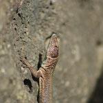 Enige reptielen bevinden zich in de haven, en zijn via de haven het eiland binnengekomen. Er zijn GEEN endemische reptielen, amfibieen, of zoogdieren in de Azoren.