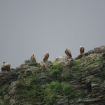 Vale gier (Gyps fulvus) - Extremadura Spanje