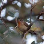 Kleine vliegenvanger (Ficedula parva) - Oostende, België
