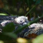 Zomertortel jongen (Streptopelia turtur) - Oostduinkerke