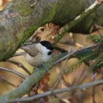 Glanskop (Poecile palustris) - Platwijers België