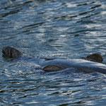 Grijze zeehond (Halichoerus grypus) haven van Dunbar