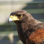 Woestijnbuizerd (Parabuteo unicinctus) - VOC Oostende (valkeniersvogel)