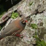 Rode patrijs (Alectoris rufa) - Extremadura Spanje