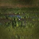 Steltkluut (Himantopus himantopus) - Black-winged stilt - Bourgoyen, België