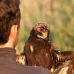 Taggen jonge Bruine kiekendief (Circus aeruginosus) - locatie geheim