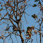 Kleine zwartkop vrouw (Sylvia melancocephala) - Rhodos Griekenland