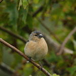 Vink (Fringilla coelebs) - Azoren Portugal