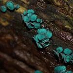 Kopergroene bekerzwam (Chlorociboria aeruginosa sl) - Platwijers België