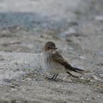 Grauwe vliegenvanger (Muscicapa striata) - Rhodos Griekenland