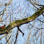 Rode eekhoorn (Sciurus vulgaris) - Nieuwenhoven België
