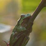 Boomkikker (Hyla arborea) - European tree frog - locatie geheim (België)