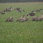 Nijlgans (Alopochen aegyptiaca) - Platwijers België