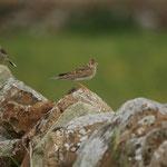 Veldleeuwerik (Alauda arvensis) - Holy Island, UK