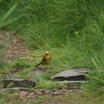 Geelgors (Emberiza citrinella) - St-Abbs-Head, Scotland