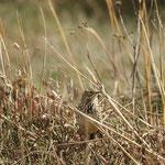 Graspieper (Anthus pratensis)