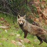 Rode vos (Vulpes vulpes) - Extremadura Spanje