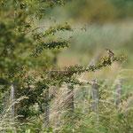 Grauwe klauwier (Lanius collurio) - België