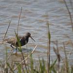 Zwarte ruiter (Tringa erythropus) - Uitkerke België