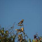 Grauwe klauwier (Lanius collurio) - Rhodos Griekenland