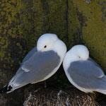 Drieteenmeeuwen (Rissa tridactyla) - Isle of May, Scotland
