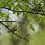 Fluiter (Phylloscopus sibilatrix) - Platwijers België
