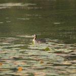 Roodhalsfuut (Podiceps grisegena) - Teut België