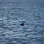 Papegaaiduiker (Fratercula arctica) - North Berwick
