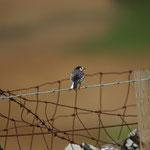 Rouwkwikstaart (Motacilla alba yarelli) - St-Abbs head, Scotland