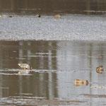 Amerikaanse wintertaling (Anas carolinensis) - Platwijers België