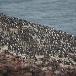 Zeekoet (Uria aalge) - St-Abbs Head Schotland
