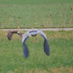Blauwe kiekendief vrouw (Circus cyaneus) - Middelkerke België