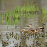 Krakeend (Anas strepera) - Bourgoyen België
