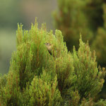 Sao Miguel Goudhaantje (Regulus regulus azoricus) - Azoren Portugal