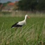 Ooievaar (Ciconia ciconia) - Uitkerkse polders, België