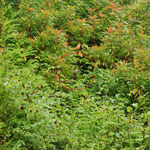 Azorese goudvink (Pyrrhula murina)