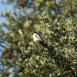 Roodkopklauwier (Lanius senator) - Extremadura Spanje