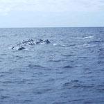Tweede gespotte soort: Atlantische vlekdolfijn/ Atlantic spotted dolphin (Stenella frontalis)