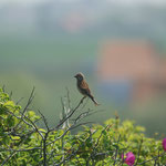 Kneu (Linaria cannabina) - Raversijde België