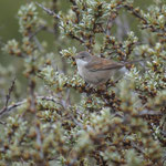 Grasmus (Sylvia communis) - Common whitethroat - Raversijde, Belgë
