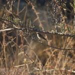 Paapje (Saxicola rubetra) - Rhodos Griekenland
